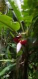 Banana Plant Flower