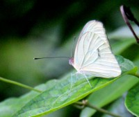 Veined White
