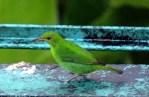 Green Honeycreeper Female
