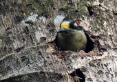 Black-cheeked Woodpecker at Home