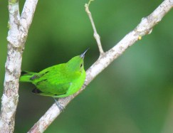 Green Honeycreeper Female