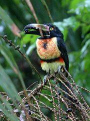 Collared Aracari from Rainforest Canopy Tram