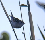 Chestnut-sided Warbler Juvenile