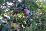 Rose-throated Grosbeak