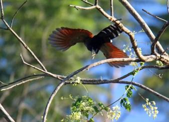 Squirrel Cuckoo Flying