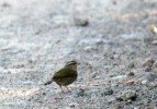 Olive Sparrow (almost like Stripe-headed)