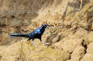 Great-tailed Grackle Male