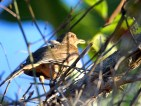 Clay-colored Thrush (light version)