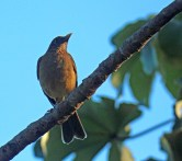 Clay-colored Thrush or Yigüirro