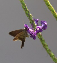 Common Brown Skipper