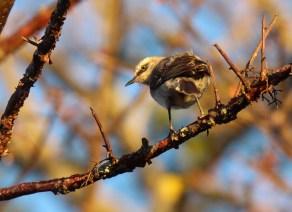 Tropical Mockingbird Juvenile