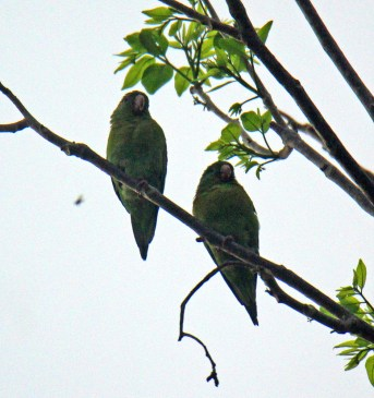 Orange-chinned Parakeet