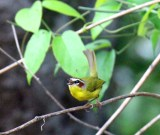 Rufous-capped Warbler