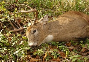 To stop CWD should we focus on removing the older bucks?