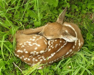 Fawns like this are rarely if ever abandoned. Do not try and help, Mama deer will be back.