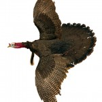 The height of the red oaks provided the turkeys a long glide path.