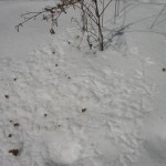 Turkeys eat weed seeds that are above the snow line. In this case burdock.