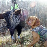 Turkey dogs are legal statewide in Wisconsin during the fall. Dogs are used to find and breakup fall flocks then master and dog setup to call them back.