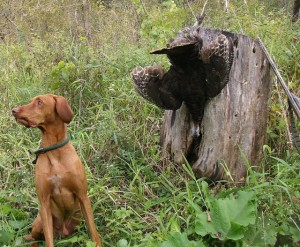 The woods is filled with turkey calls. Vic the turkey dog can't understand why we're waiting.