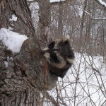 This raccoon got caught sticking its head out.  To check the weather? Feb 27, 2014 was too cold.