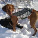 Extend the season winter turkey hunting with your dog