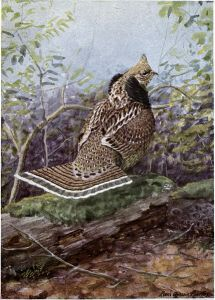 Wisconsin 2013 Ruffed Grouse Report