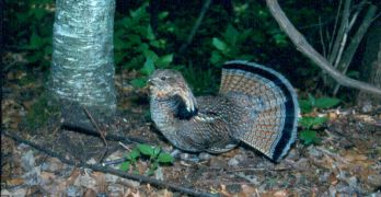 Grouse 2016 Wisconsin Outlook; Ruffed Grouse Drumming Survey