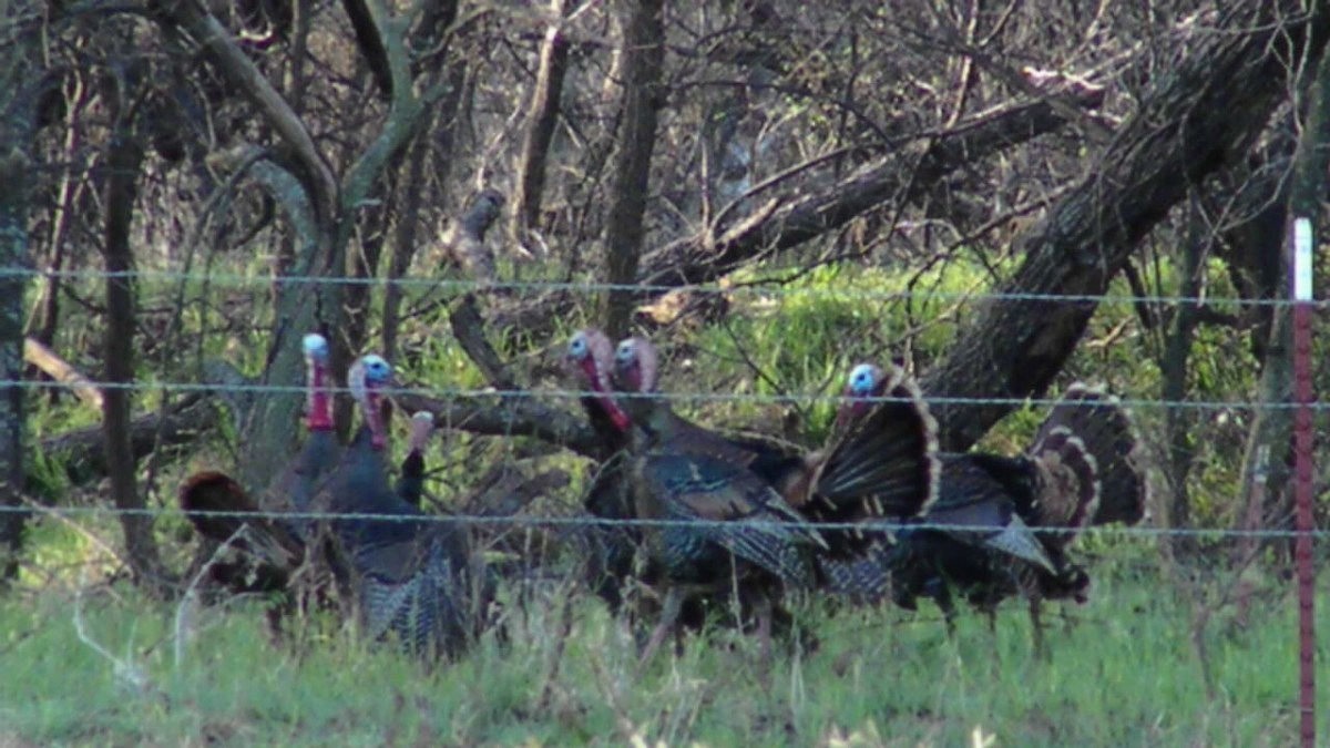 Oklahoma Fall Turkey Flock Finally Located
