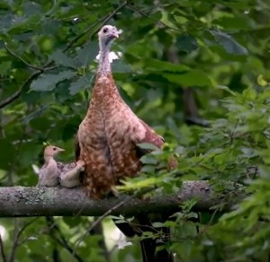 How Hen and Poults Roost Photo Essay