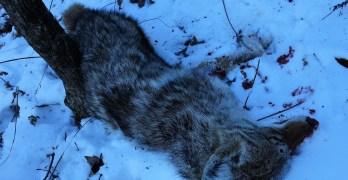Best Coyote Call – – Turkey Yelps