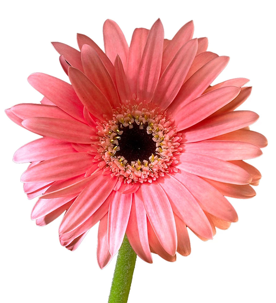 Pink Light Daisy Gerbera