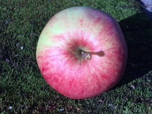 Häradsv. äpple
