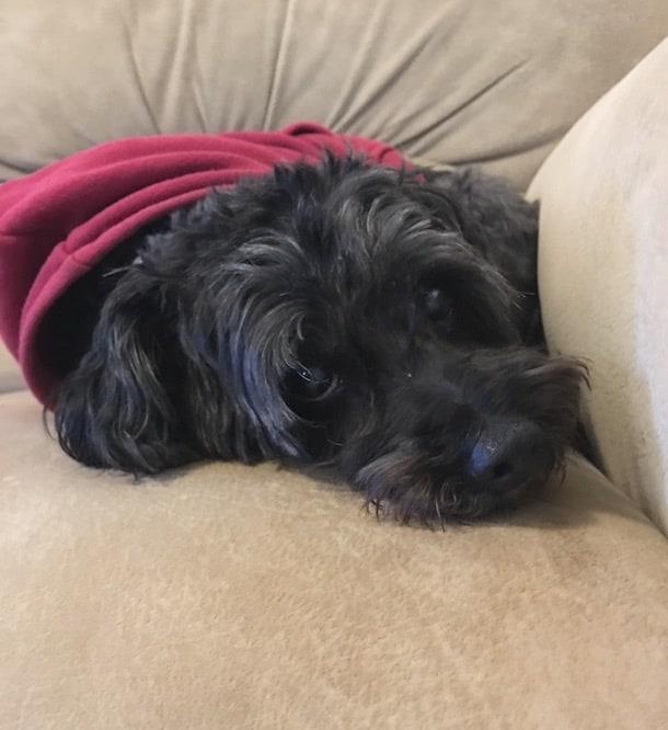 cute small black dog wearing hoodie