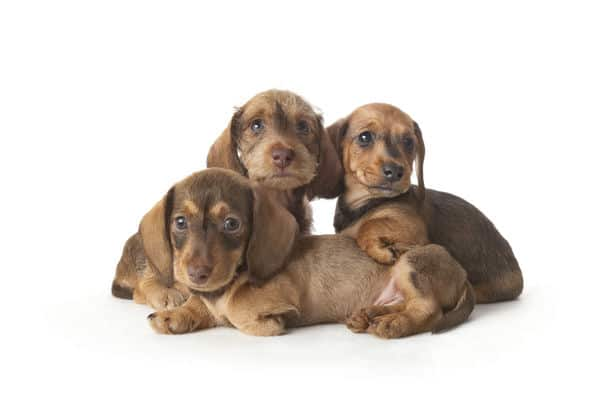 Family Portrait Of Wire Haired Dachshund Puppies