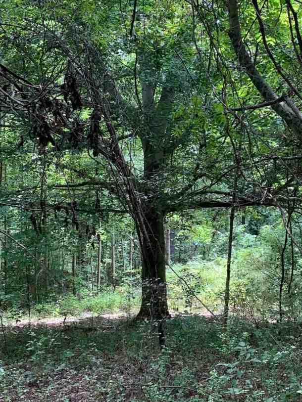 Ribbon Walk tree