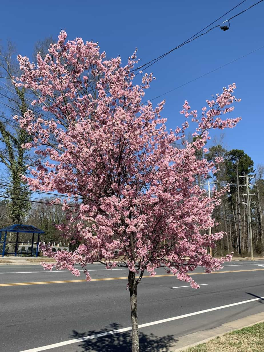 Where To View Cherry Blossoms In The Charlotte Area Laptrinhx News