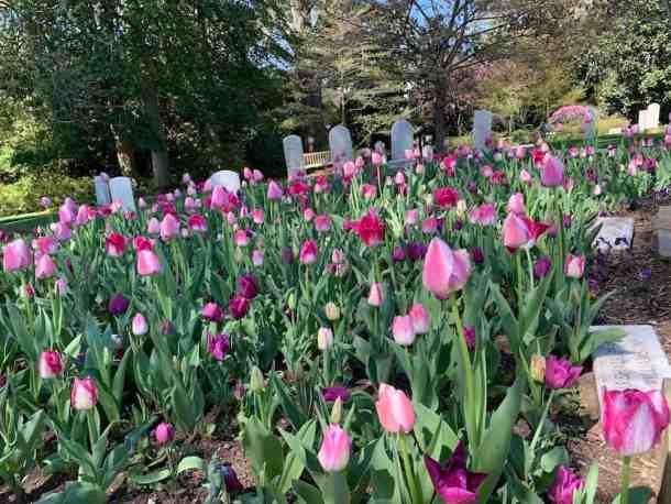 tulips in Memorial Garden in Concord