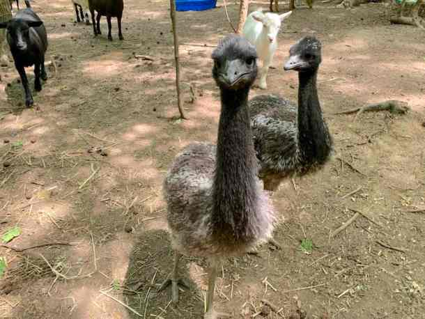 Two young emus on farm