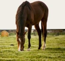 Pasture Horse