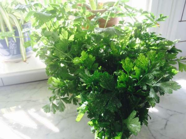 Fresh parsley from a local garden. basking in the sun.