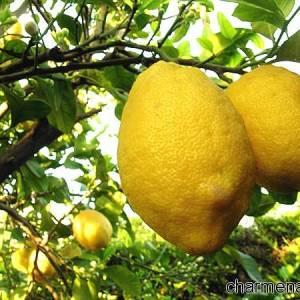 Limoni di Amalfi