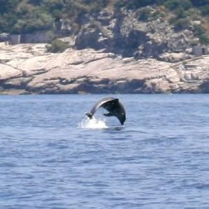 Le piroette dei delfini nelle acque di Punta Campanella