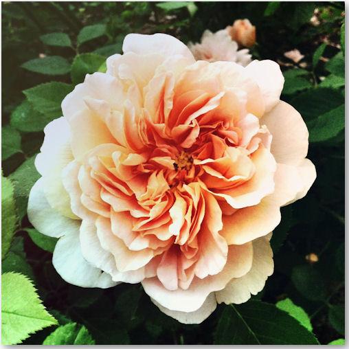 Rosen im Garten von Marihn - © Liisa