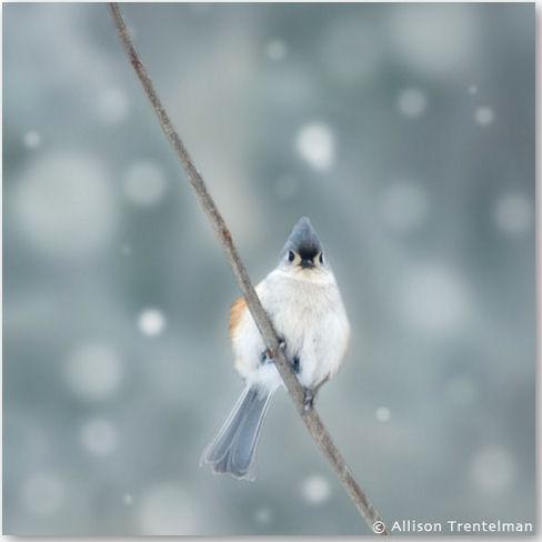 Tufted Titmouse in Snow - © Allison Trentelman
