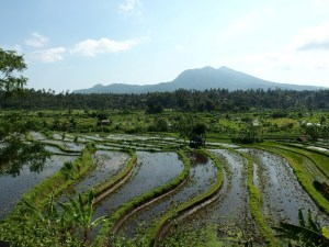Lovely view in the morning across rice fields