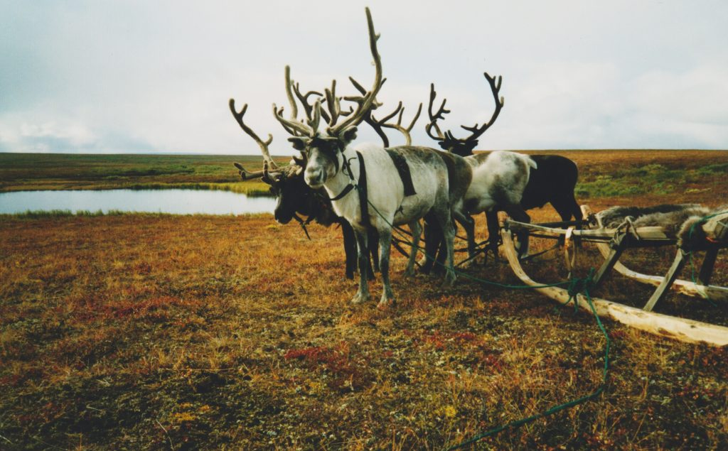 Draught reindeer with sledge
