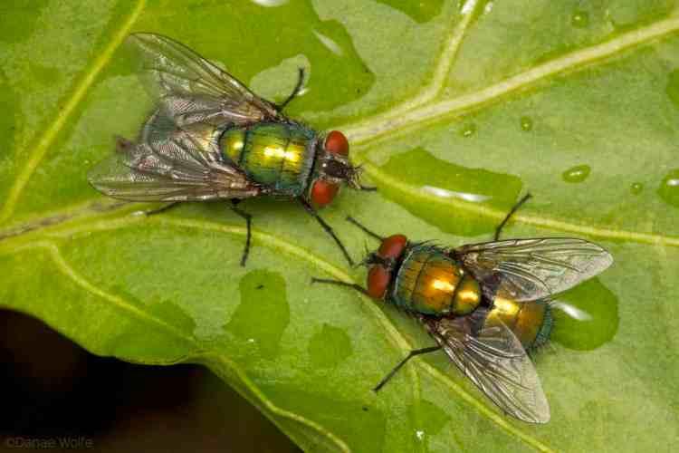 Two flies on a leaf