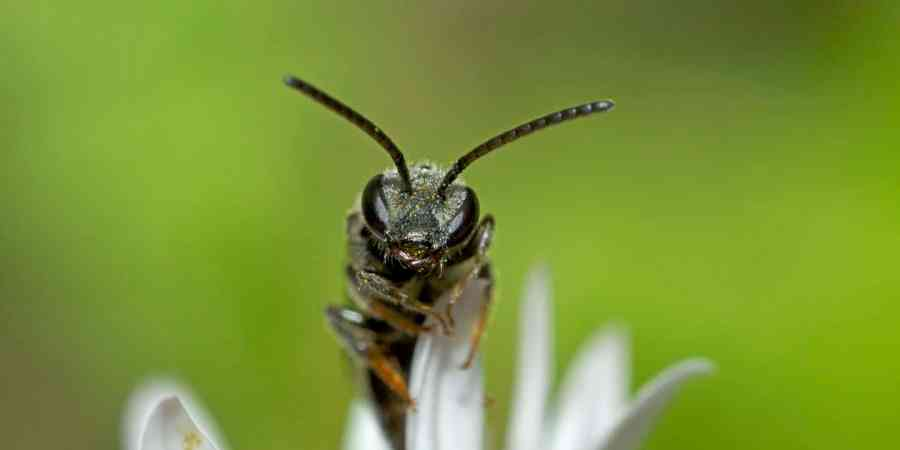 Small black sweat bee on white flower