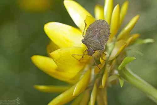 Stink bug on flower