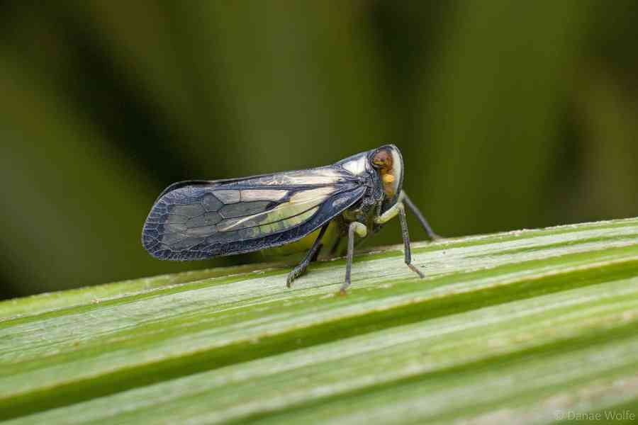 Leafhopper on plant